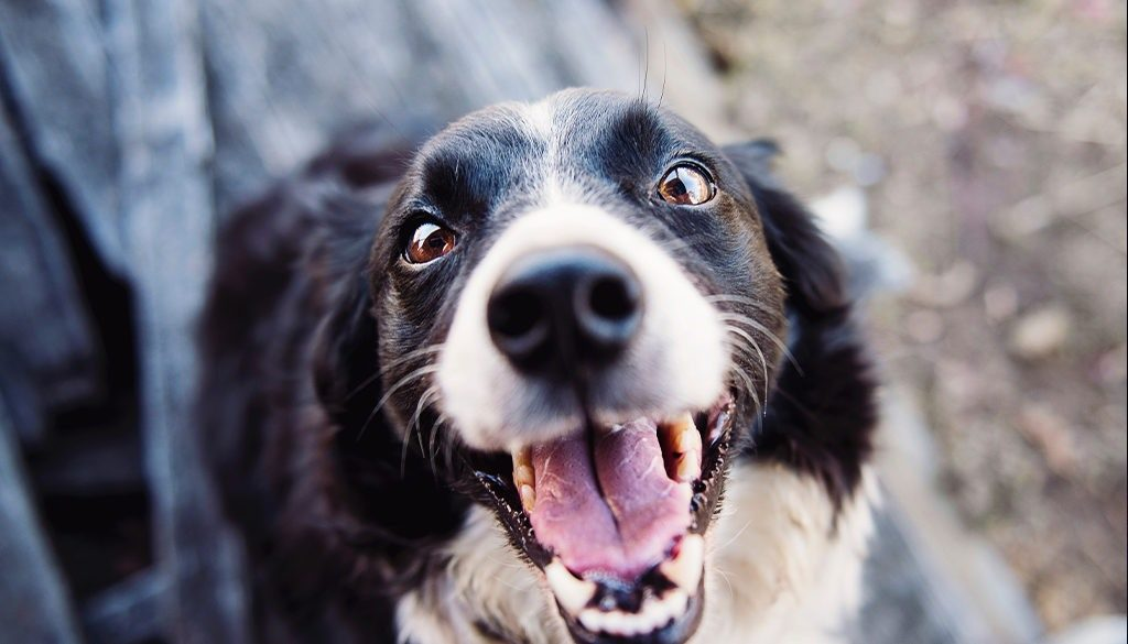 blu-happy-dog